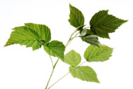 Arctic raspberry oil in NATorigin is rich in omega 3 oils and anti-oxidants
